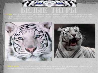 Глаза. Как и у большего числа представителей семейства кошачьих, у тигров ноч...