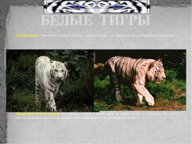 Передвижение. Обязательно следует сказать о том, что тигры – это очень быстры...