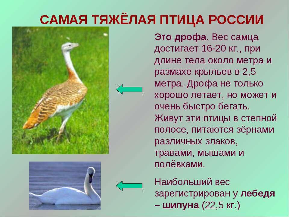 САМАЯ ТЯЖЁЛАЯ ПТИЦА РОССИИ Это дрофа. Вес самца достигает 16-20 кг., при длин...