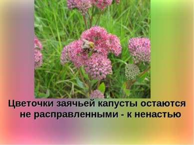 Цветочки заячьей капусты остаются не расправленными - к ненастью