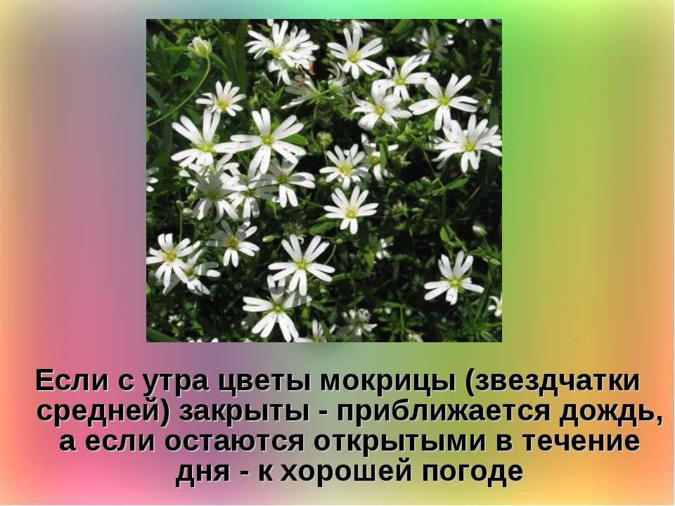 Если с утра цветы мокрицы (звездчатки средней) закрыты - приближается дождь, ...