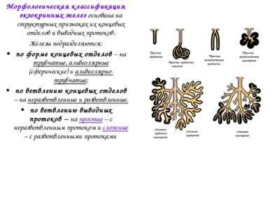 Морфологическая классификация экзокринных желез основана на структурных призн...