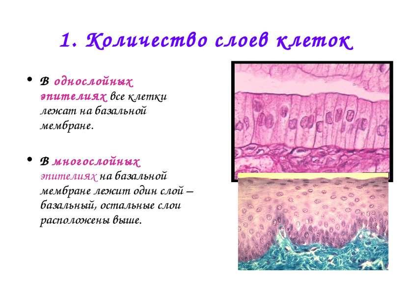 1. Количество слоев клеток В однослойных эпителиях все клетки лежат на базаль...
