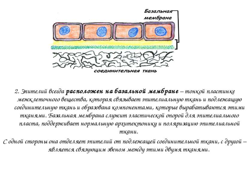 2. Эпителий всегда расположен на базальной мембране – тонкой пластинке межкле...
