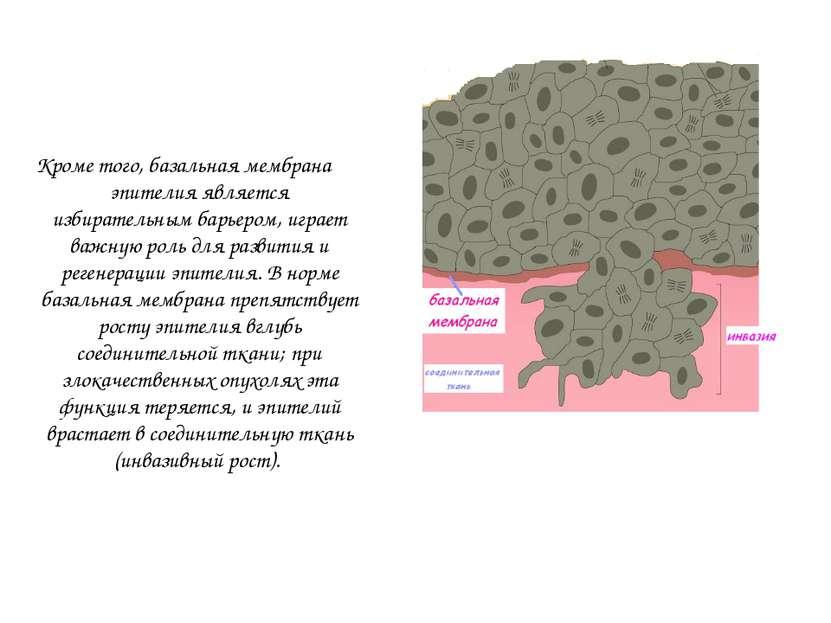 Кроме того, базальная мембрана эпителия является избирательным барьером, игра...