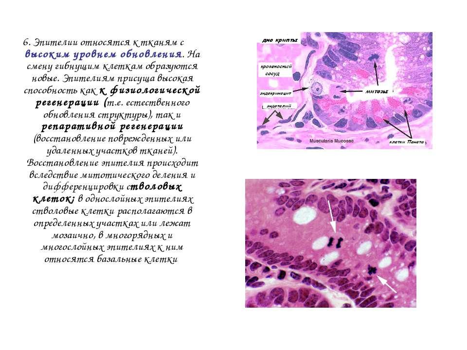 6. Эпителии относятся к тканям с высоким уровнем обновления. На смену гибнущи...