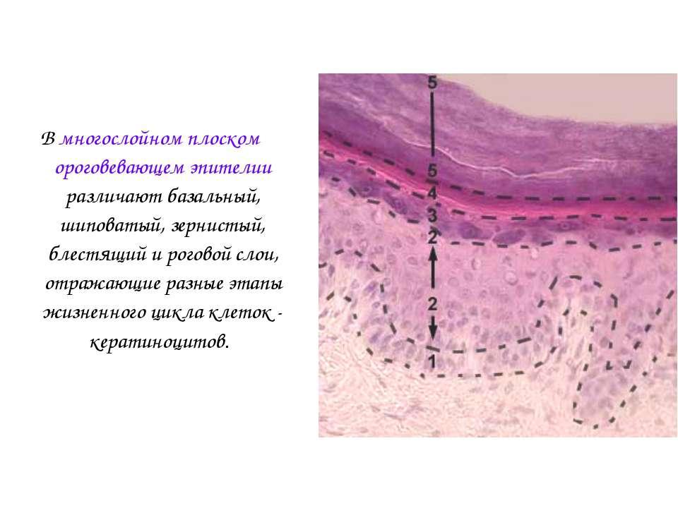 В многослойном плоском ороговевающем эпителии различают базальный, шиповатый,...
