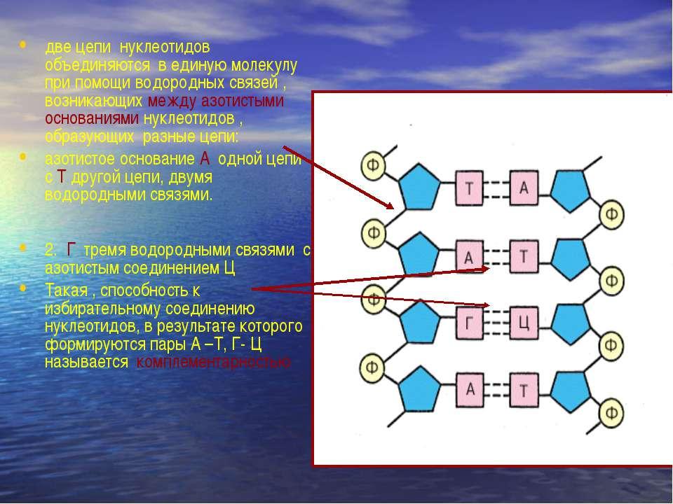 две цепи нуклеотидов объединяются в единую молекулу при помощи водородных свя...