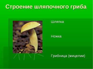Строение шляпочного гриба Шляпка Ножка Грибница (мицелии)