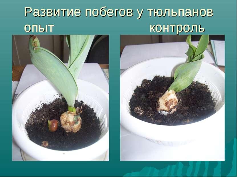 Развитие побегов у тюльпанов опыт контроль
