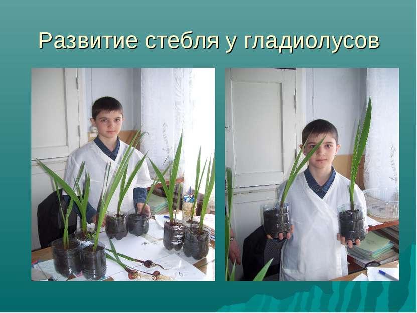 Развитие стебля у гладиолусов