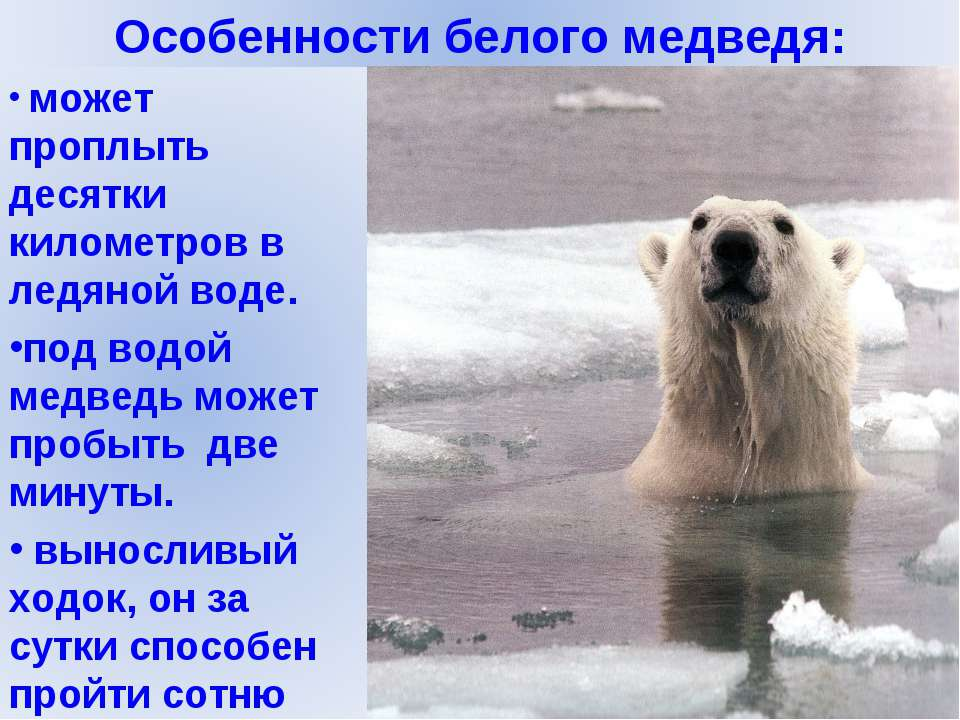 Где находится белый медведь