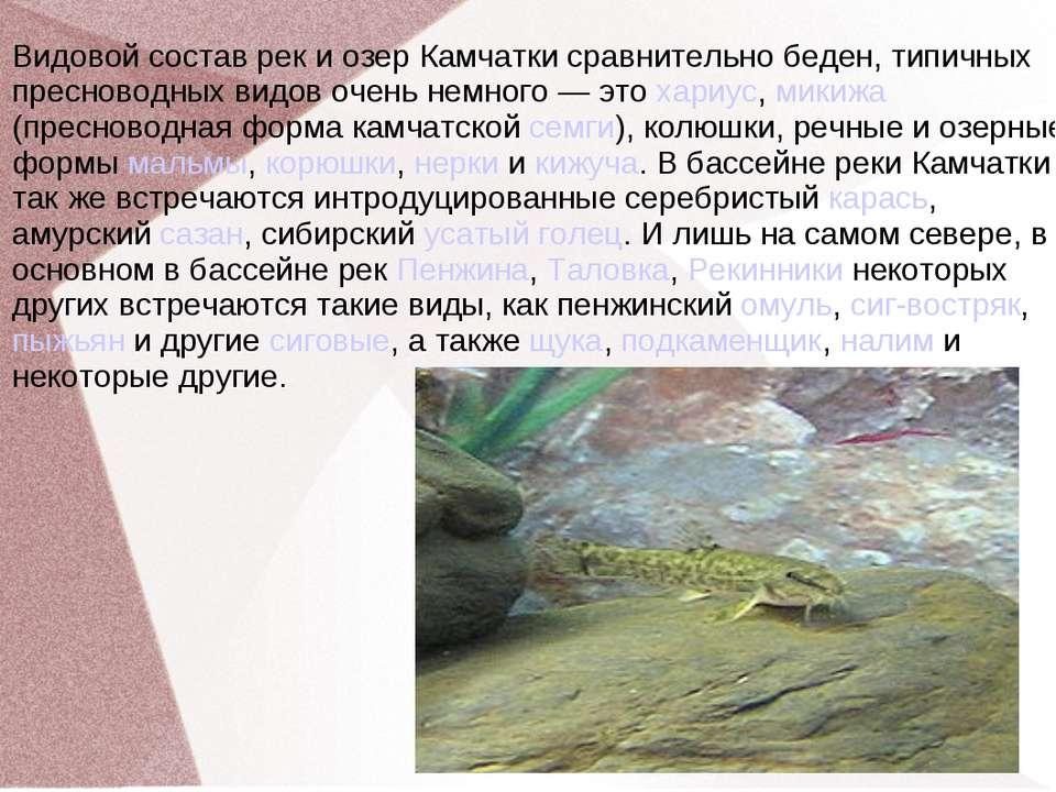 Видовой состав рек и озер Камчатки сравнительно беден, типичных пресноводных ...