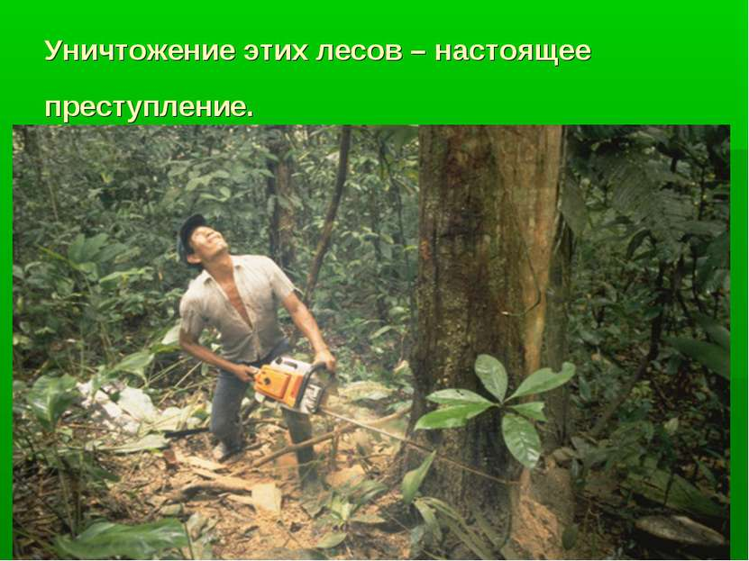 Уничтожение этих лесов – настоящее преступление.