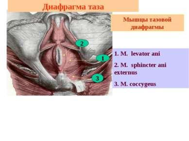 Диафрагма таза 1. M. levator ani 2. M. sphincter ani externus 3. M. coccygeus...