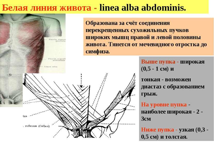 Белая линия живота - linea alba abdominis. Выше пупка - широкая (0,5 - 1 см) ...