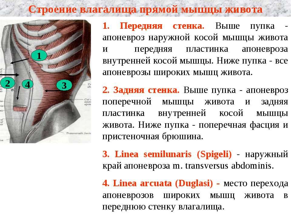 Строение влагалища прямой мышцы живота 1. Передняя стенка. Выше пупка - апоне...
