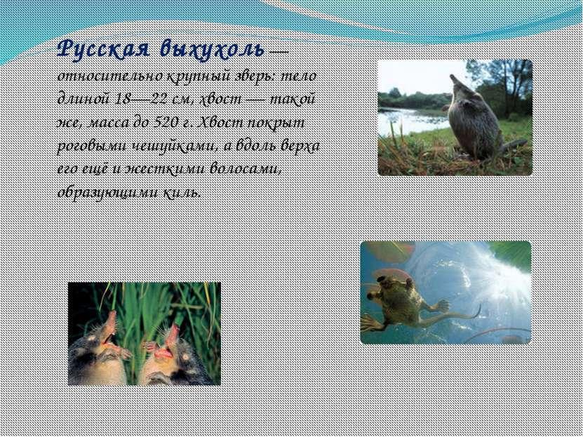 Русская выхухоль— относительно крупный зверь: тело длиной 18—22см, хвост— ...
