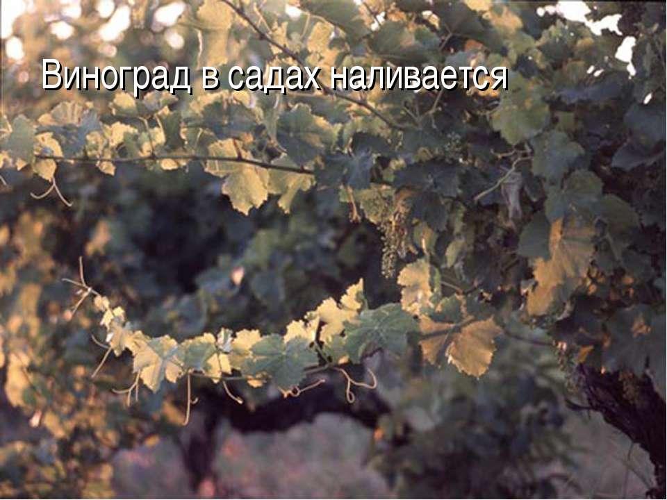 Виноград в садах наливается