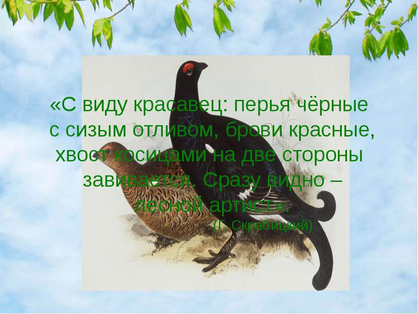 «С виду красавец: перья чёрные с сизым отливом, брови красные, хвост косицами...