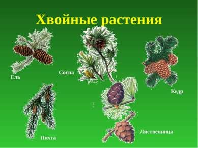 Хвойные растения Ель Сосна Кедр Пихта Лиственница
