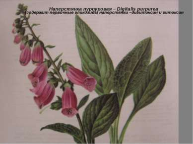 Наперстянка пурпуровая – Digitalis purpurea (содержит первичные гликозиды нап...
