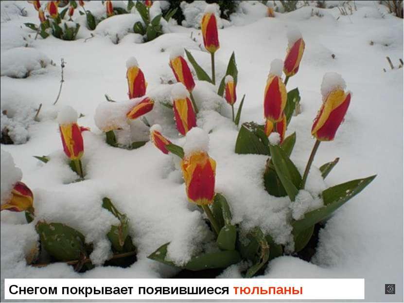 Снегом покрывает появившиеся тюльпаны