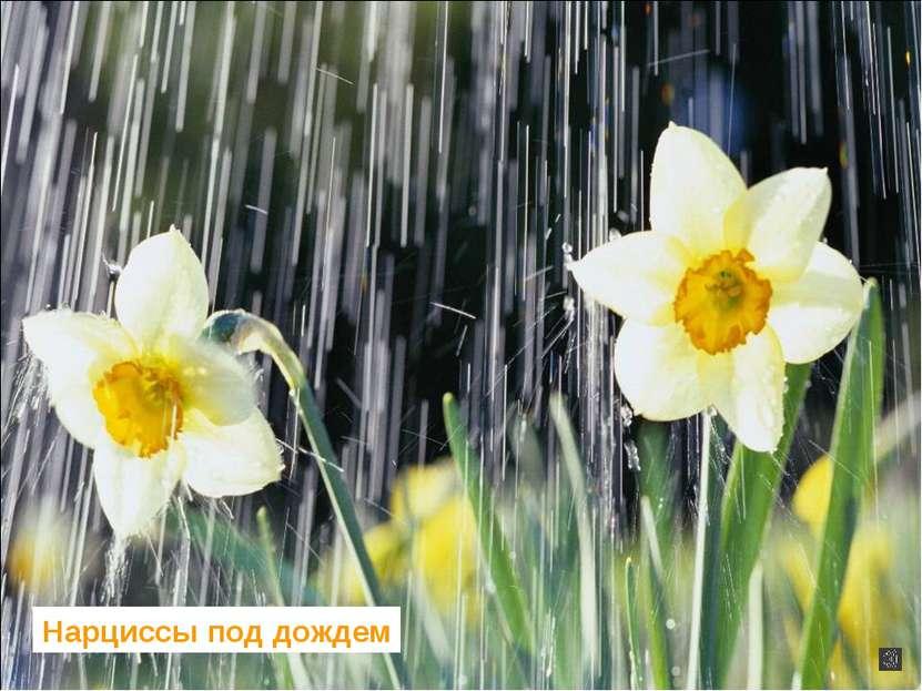 Нарциссы под дождем