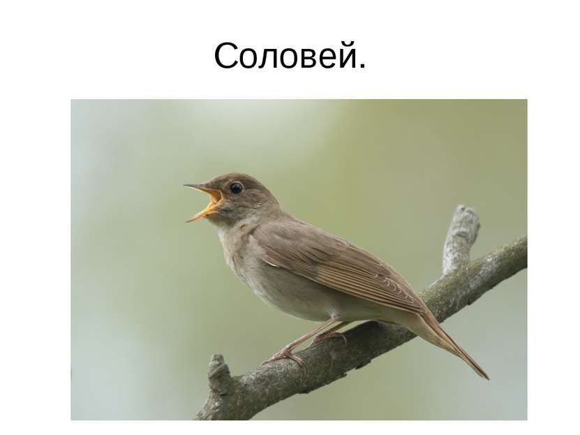 Соловей.