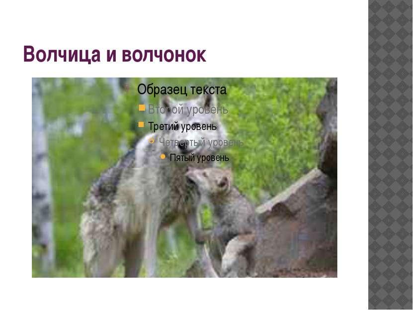 Волчица и волчонок