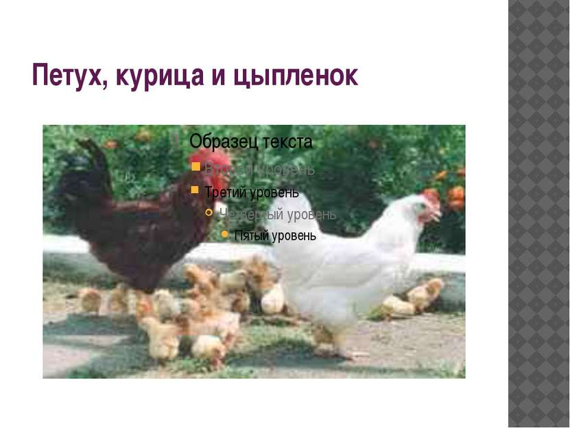 Петух, курица и цыпленок