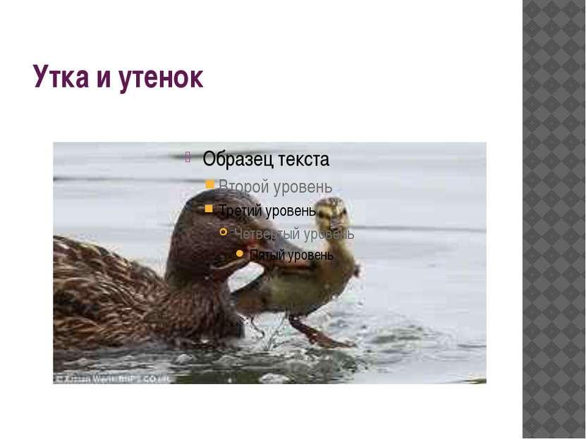 Утка и утенок