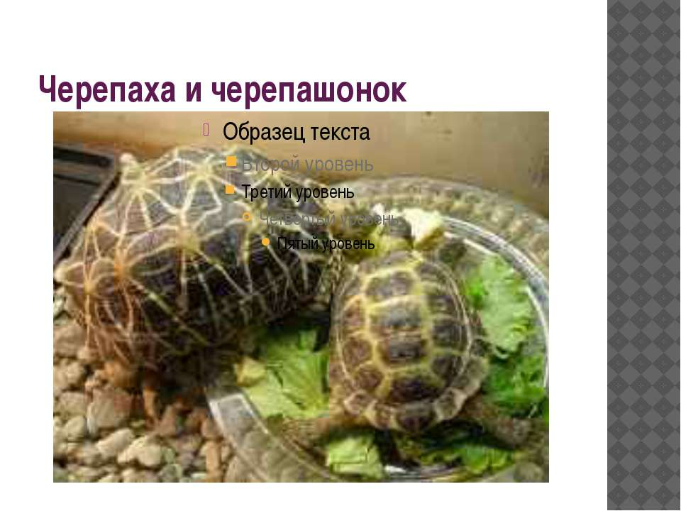 Черепаха и черепашонок
