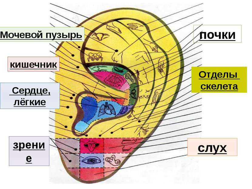 Сердце, лёгкие зрение слух кишечник почки Отделы скелета Мочевой пузырь