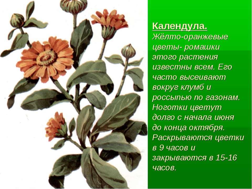 Календула. Жёлто-оранжевые цветы- ромашки этого растения известны всем. Его ч...