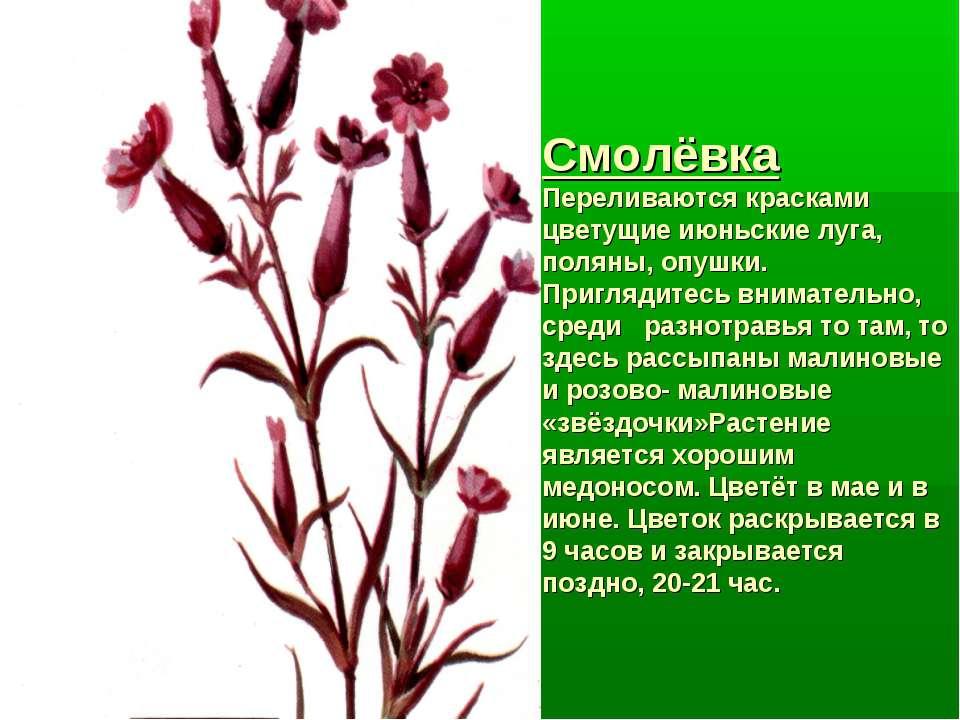 Смолёвка Переливаются красками цветущие июньские луга, поляны, опушки. Пригля...