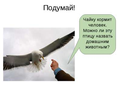 Подумай! Чайку кормит человек. Можно ли эту птицу назвать домашним животным?