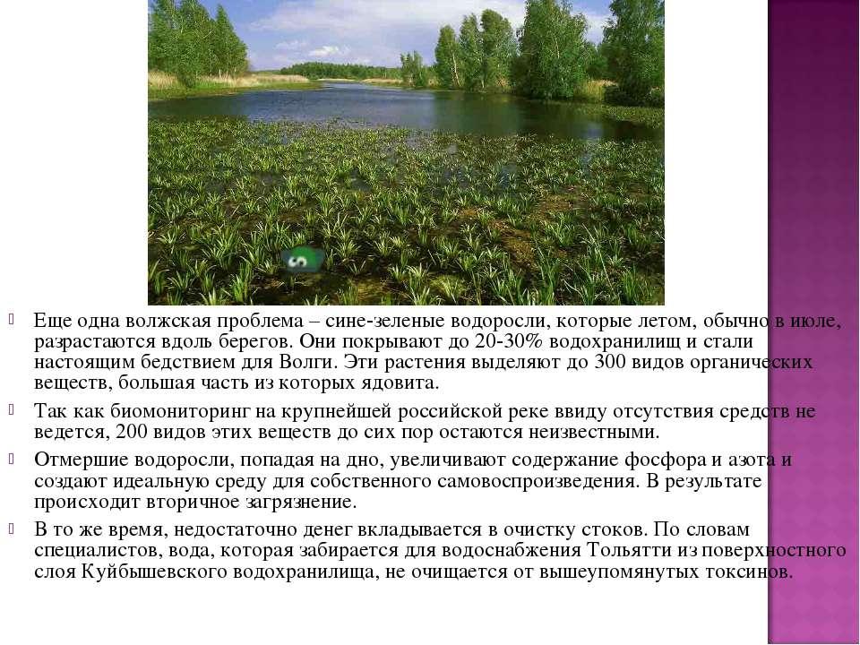Еще одна волжская проблема – сине-зеленые водоросли, которые летом, обычно в ...