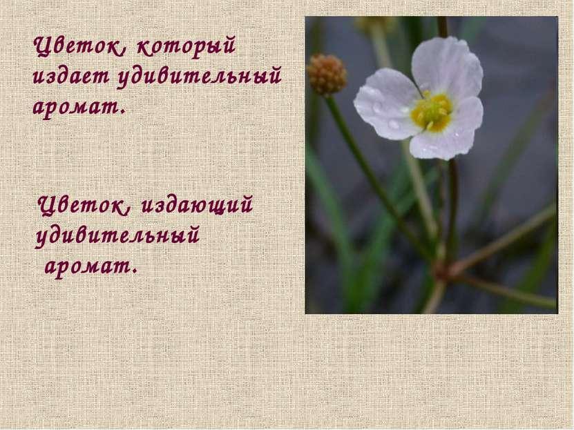 Цветок, который издает удивительный аромат. Цветок, издающий удивительный аро...