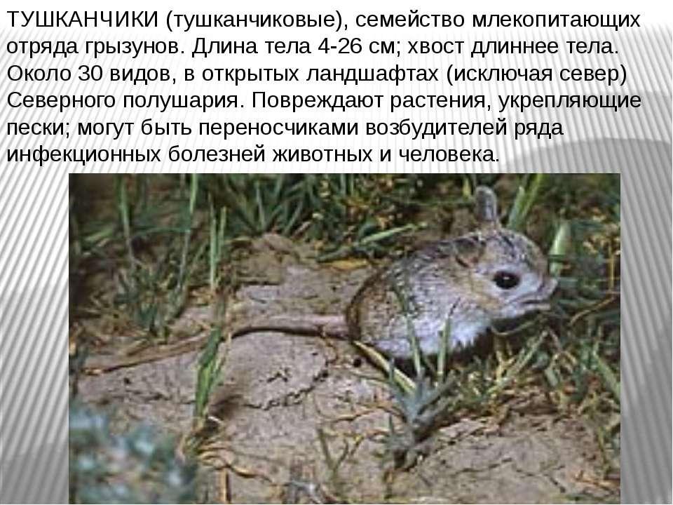 ТУШКАНЧИКИ (тушканчиковые), семейство млекопитающих отряда грызунов. Длина те...