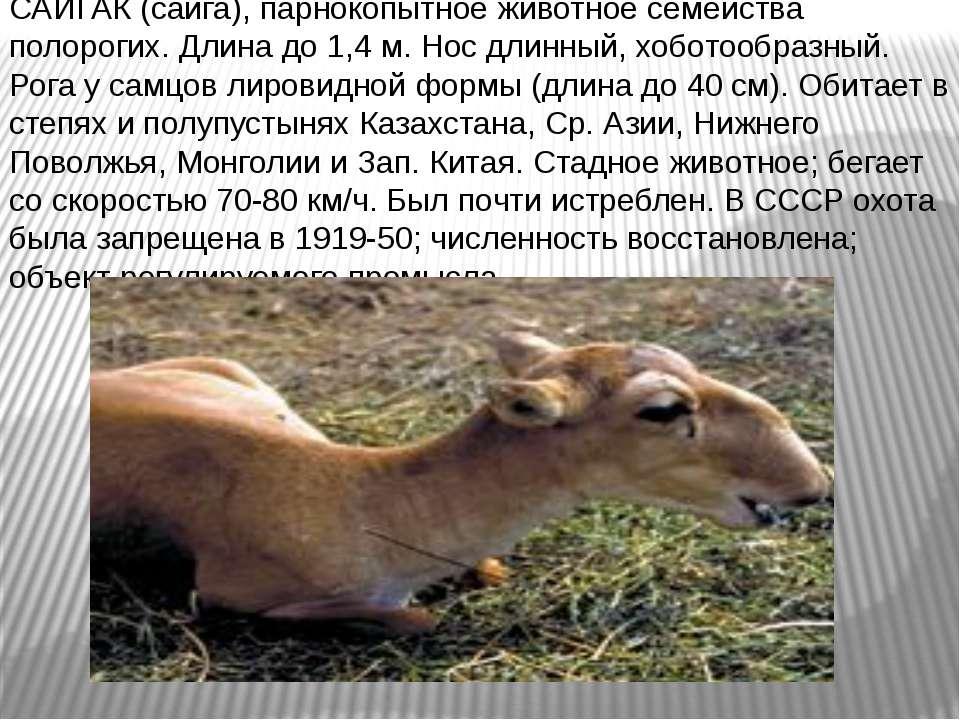 САЙГАК (сайга), парнокопытное животное семейства полорогих. Длина до 1,4 м. Н...