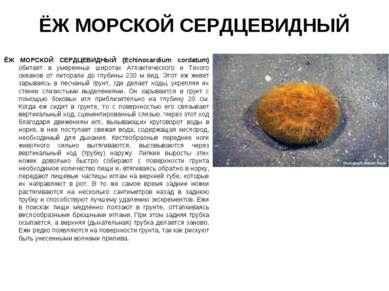 ЁЖ МОРСКОЙ СЕРДЦЕВИДНЫЙ ЁЖ МОРСКОЙ СЕРДЦЕВИДНЫЙ (Echinocardium cordatum) обит...
