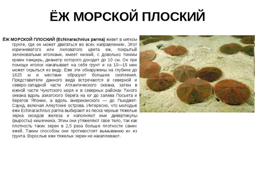 ЁЖ МОРСКОЙ ПЛОСКИЙ ЁЖ МОРСКОЙ ПЛОСКИЙ (Echinarachnius parma) живет в мягком г...