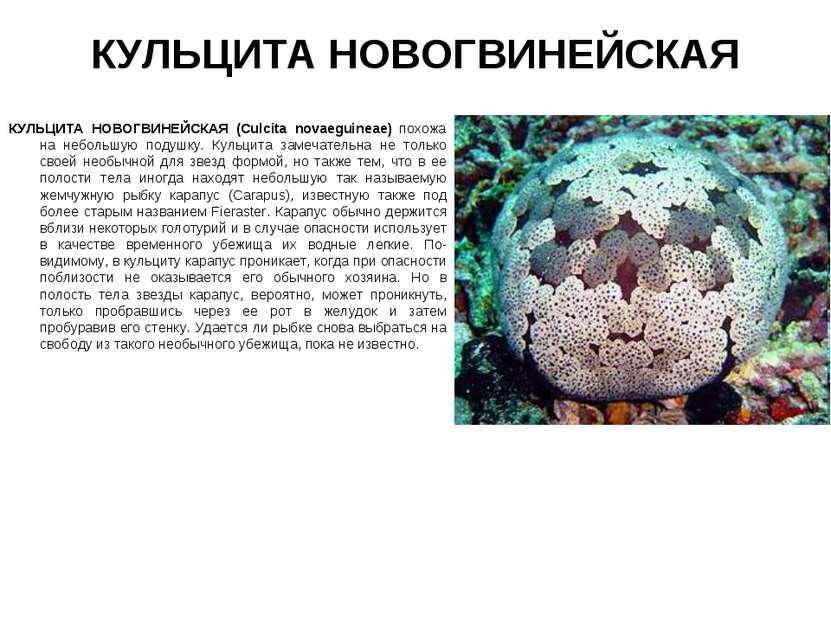 КУЛЬЦИТА НОВОГВИНЕЙСКАЯ КУЛЬЦИТА НОВОГВИНЕЙСКАЯ (Culcita novaeguineae) похожа...