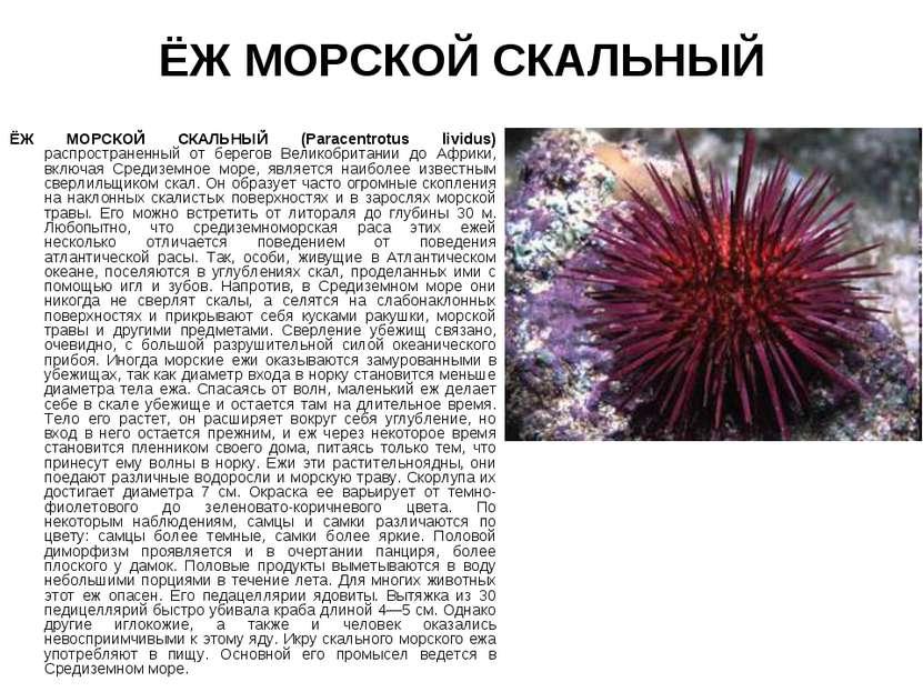 ЁЖ МОРСКОЙ СКАЛЬНЫЙ ЁЖ МОРСКОЙ СКАЛЬНЫЙ (Paracentrotus lividus) распространен...