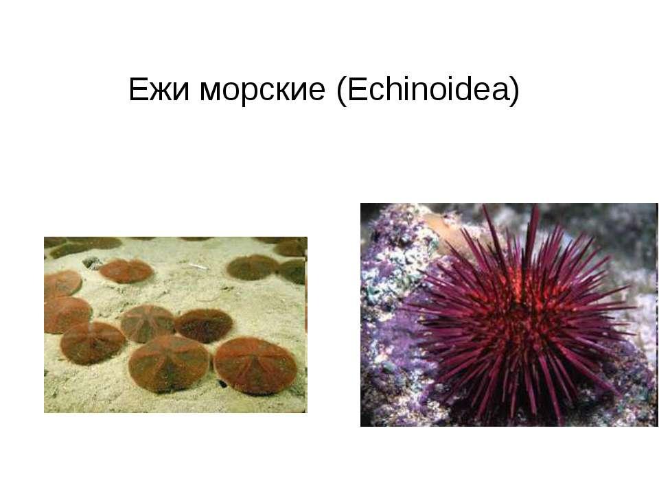 Ежи морские (Echinoidea)