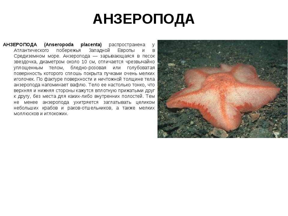 АНЗЕРОПОДА АНЗЕРОПОДА (Anseropoda placenta) распространена у Атлантического п...