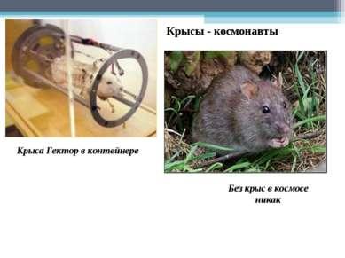 Без крыс в космосе никак Крыса Гектор в контейнере Крысы - космонавты