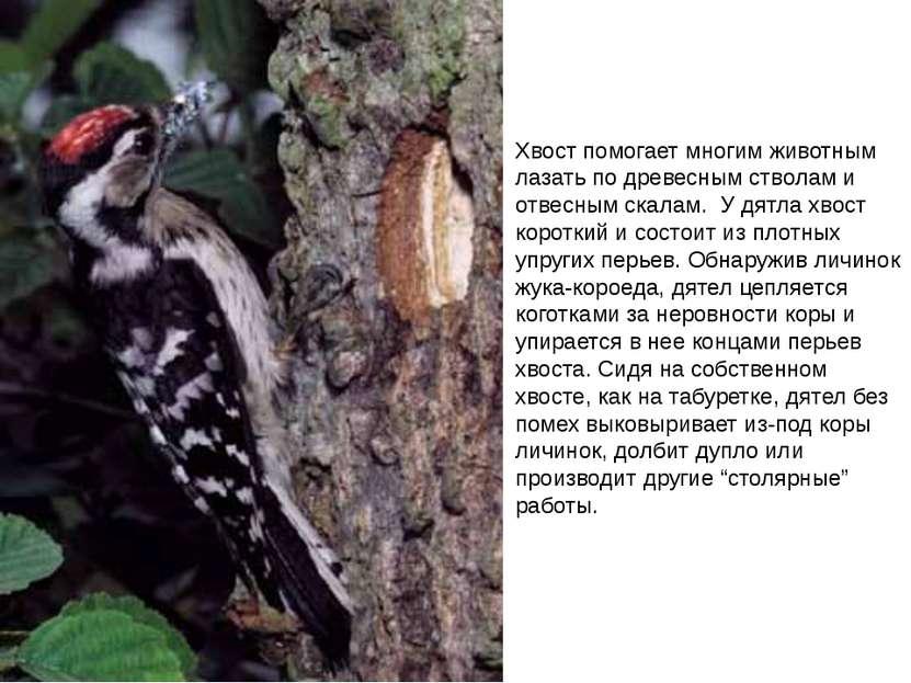 Хвост помогает многим животным лазать по древесным стволам и отвесным скалам....