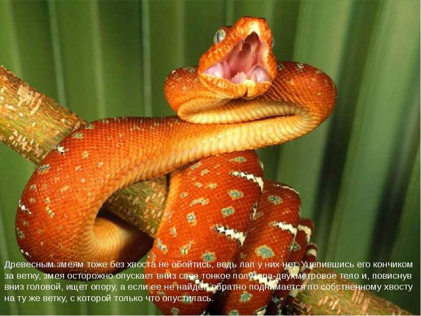 Древесным змеям тоже без хвоста не обойтись, ведь лап у них нет. Уцепившись е...